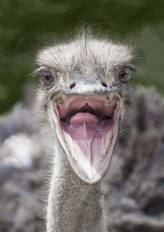 primer plano cabeza de avestruz con el pico abierto mostrando la lengua