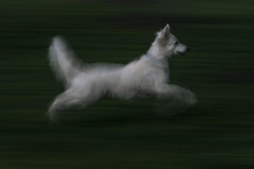 Perro blanco fotografiado al vuelo mientras salta