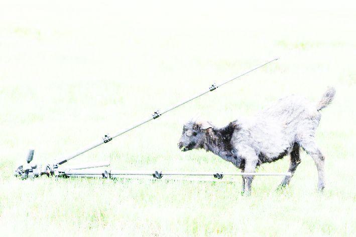 cabra con trípode en foto sobreexpuesta