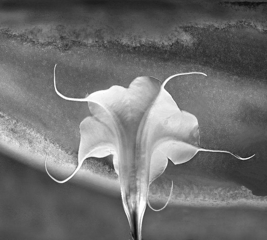 Fotografía artística de una flor trompeta de ángel blanca