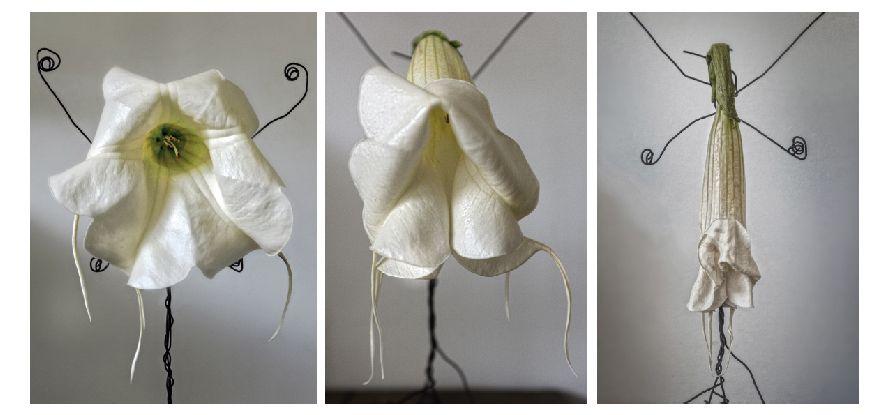 Secuencia artística de una flor trompeta de ángel mostrando tristeza, derrota y muerte