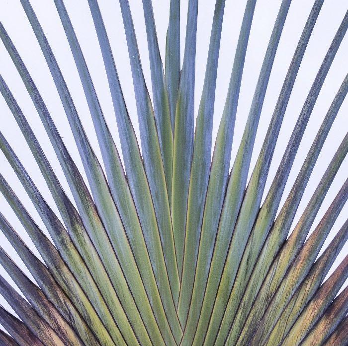 Fotografía artística. Conjunto de tallos en abanico de una planta tropical