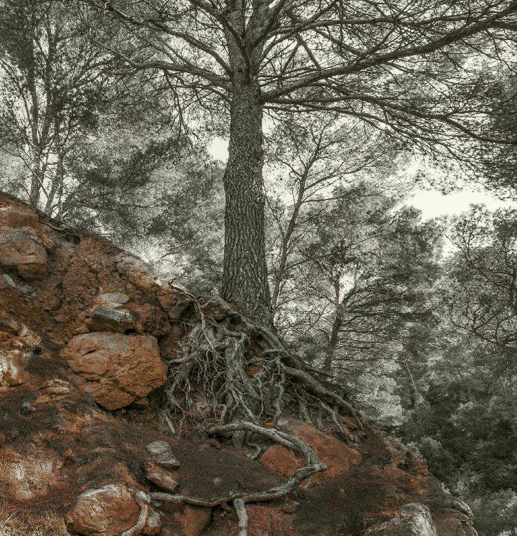 pino raices xisco fuster fotografo